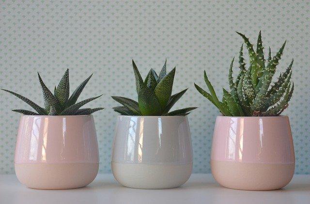 tři kaktusy